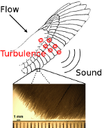 [Noise generated by turbulent flow over an owl's wing]